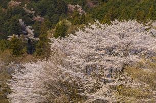 霞間ヶ渓の桜の写真素材 [FYI04828171]