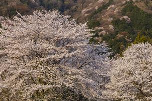 霞間ヶ渓の桜の写真素材 [FYI04828173]