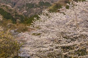 霞間ヶ渓の桜の写真素材 [FYI04828175]