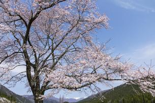 本巣市の根尾地区の桜と能郷白山の写真素材 [FYI04828177]