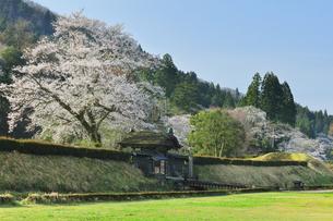 春の一乗谷朝倉氏遺跡 唐門と桜の写真素材 [FYI04828178]