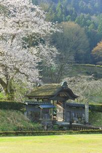 春の一乗谷朝倉氏遺跡 唐門と桜の写真素材 [FYI04828179]