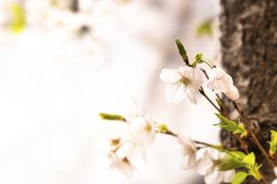 桜(ソメイヨシノ)の写真素材 [FYI04828532]