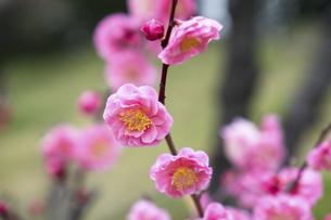 咲き乱れる紅梅の写真素材 [FYI04828534]