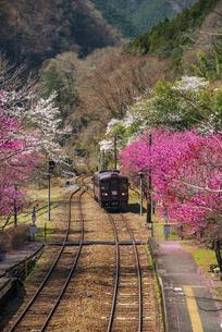 わたらせ渓谷鉄道 神戸駅より満開の桜とハナモモの溪谷を神戸駅に入線する列車の写真素材 [FYI04828782]