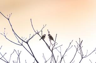 落葉樹の枝に止まる2羽のスズメ(スズメ目ハタオリドリ科)の写真素材 [FYI04828915]