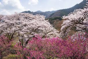 わたらせ渓谷鉄道神戸駅より満開の桜とハナモモの桃源郷の写真素材 [FYI04828957]