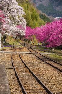 わたらせ渓谷鉄道 神戸駅より満開の桜とハナモモのトンネルに伸びる線路の写真素材 [FYI04828961]
