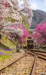 満開の桜とハナモモの花トンネルを走るわたらせ渓谷鉄道上り列車神戸駅付近の写真素材 [FYI04828965]