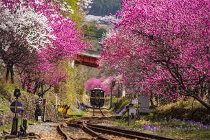 谷間のサクラやハナモモの満開の花並木を走るわたらせ渓谷鉄道 神戸駅付近より上り列車の写真素材 [FYI04829153]