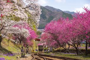 ハナモモや桜の咲く谷間を走るわたらせ渓谷鉄道神戸駅付近 上り列車の写真素材 [FYI04829264]