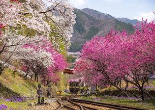 神戸駅付近より 桜とハナモモの満開の溪谷を走る列車 わたらせ渓谷鉄道上り列車 神戸~沢入の写真素材 [FYI04829274]