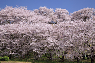 丸墓山古墳の桜の写真素材 [FYI04829350]