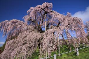 三春の滝桜の写真素材 [FYI04829371]