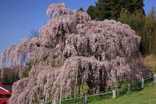 三春の滝桜の写真素材 [FYI04829372]