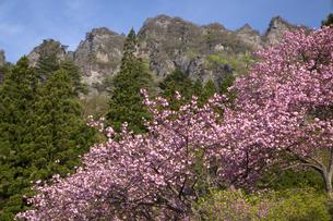 さくらの里 八重桜の写真素材 [FYI04829392]