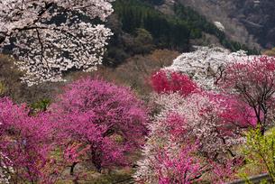 神戸駅付近より桜やハナモモ咲き誇る桃源郷の谷の写真素材 [FYI04829513]