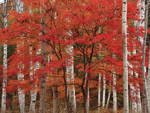 11月 博士峠の白樺林とカエデ紅葉の写真素材 [FYI04829590]
