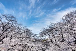 上野公園満開の桜の写真素材 [FYI04829623]