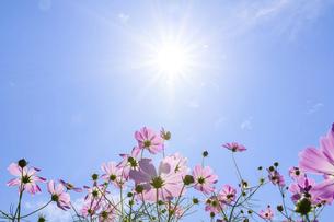 爽やかな秋晴れを背景に風に揺れるコスモスの花風景の写真素材 [FYI04829720]