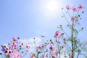 爽やかな秋晴れを背景に風に揺れるコスモスの花風景の写真素材 [FYI04829721]