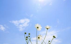 爽やかな秋晴れを背景に風に揺れるコスモスの花風景の写真素材 [FYI04829722]