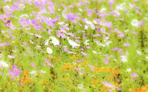 爽やかな秋晴れを背景に風に揺れるコスモスの花風景の写真素材 [FYI04829725]