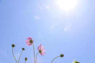 爽やかな秋晴れを背景に風に揺れるコスモスの花風景の写真素材 [FYI04829726]