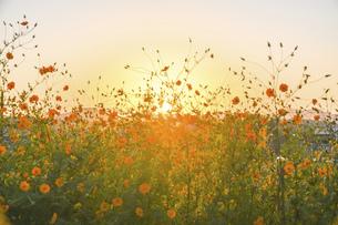 美しい夕焼け空を背景に秋の季節を感じさせる模様、コスモスの花の写真素材 [FYI04829731]
