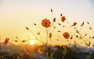 美しい夕焼け空を背景に秋の季節を感じさせる模様、コスモスの花の写真素材 [FYI04829735]