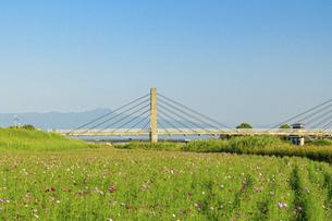秋桜の季節 美しいコスモスの花 コスモスブリッジ 河川敷周辺に一面に咲くコスモス風景の写真素材 [FYI04829736]