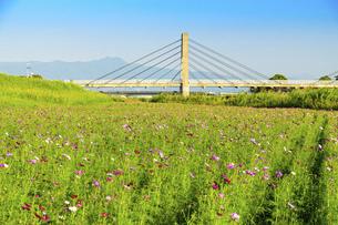 秋桜の季節 美しいコスモスの花 コスモスブリッジ 河川敷周辺に一面に咲くコスモス風景の写真素材 [FYI04829737]