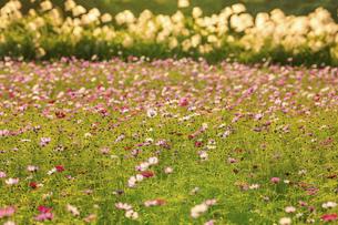 秋桜の季節 美しいコスモスの花 コスモスブリッジ 河川敷周辺に一面に咲くコスモス風景の写真素材 [FYI04829756]