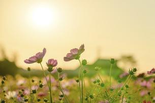 秋桜の季節 美しいコスモスの花 コスモスブリッジ 河川敷周辺に一面に咲くコスモス風景の写真素材 [FYI04829757]