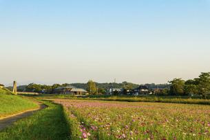 秋桜の季節 美しいコスモスの花 コスモスブリッジ 河川敷周辺に一面に咲くコスモス風景の写真素材 [FYI04829758]