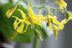 ミニトマトの花の写真素材 [FYI04829779]