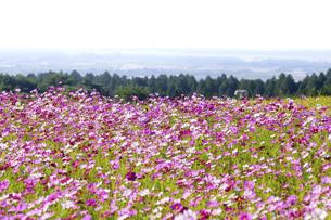 コスモス畑・秋晴れの秋桜の美しい風景・背景明るい白イメージ素材・コピースペースの写真素材 [FYI04829852]