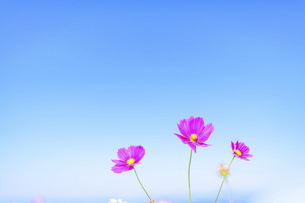 秋桜の美しい風景・一輪の花をイメージ・背景明るいイメージ素材の写真素材 [FYI04830237]