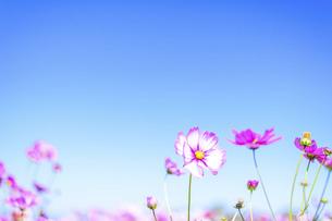 秋桜の美しい風景・一輪の花をイメージ・背景明るいイメージ素材の写真素材 [FYI04830238]