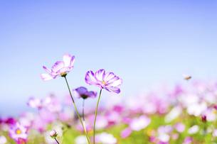 秋桜の美しい風景・一輪の花をイメージ・背景明るいイメージ素材の写真素材 [FYI04830239]