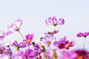 秋桜の美しい風景・一輪の花をイメージ・背景明るいイメージ素材の写真素材 [FYI04830240]