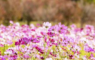 コスモス畑・秋晴れの秋桜の美しい風景・背景明るいイメージ素材・コピースペースの写真素材 [FYI04830241]