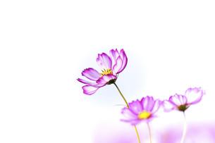 秋桜の美しい風景・一輪の花をイメージ・背景明るいイメージ素材の写真素材 [FYI04830242]