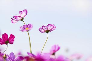 秋桜の美しい風景・一輪の花をイメージ・背景明るいイメージ素材の写真素材 [FYI04830243]