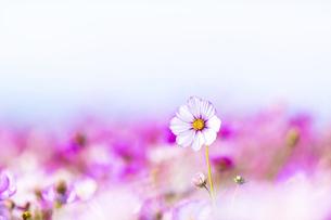 秋桜の美しい風景・一輪の花をイメージ・背景明るいイメージ素材の写真素材 [FYI04830244]