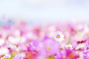 秋桜の美しい風景・一輪の花をイメージ・背景明るいイメージ素材の写真素材 [FYI04830245]