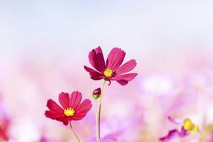 秋桜の美しい風景・一輪の花をイメージ・背景明るいイメージ素材の写真素材 [FYI04830246]
