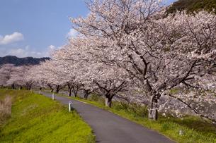 桜並木の写真素材 [FYI04830343]