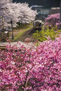 わたらせ渓谷鐵道 わたらせ渓谷線水沼駅より満開の桜とハナモモの花並木を走る列車の写真素材 [FYI04830352]