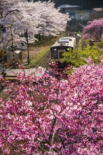 わたらせ渓谷鐵道 わたらせ渓谷線水沼駅より満開の桜とハナモモの花並木を走る列車の写真素材 [FYI04830358]